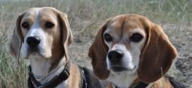 Die Beagle Bande stellt sich vor