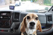 Beagle Henry - King of the Road